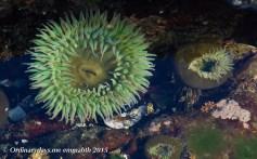 Green anemones