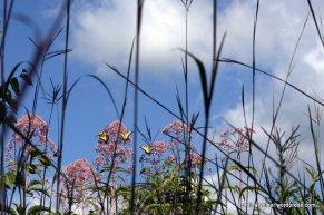 Joe-Pye Weed replaces the milkweed flower as butterfly super food.