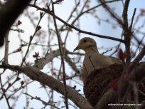 Male Mourning Dove Nest Sitting