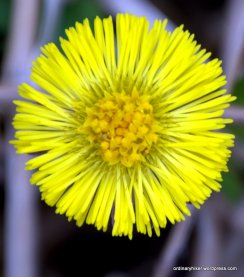 Coltsfoot, an Early Member of the Daisy Family