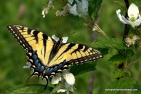 Yellow Tiger Swallowtail