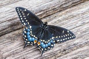 Female Black Eastern Swallowtail