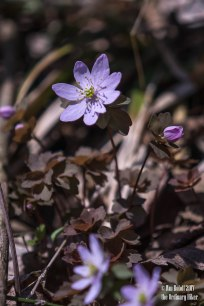 Rue Anemone - Member of the Buttercup Family