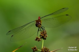 Ruby Meadowhawk (male)
