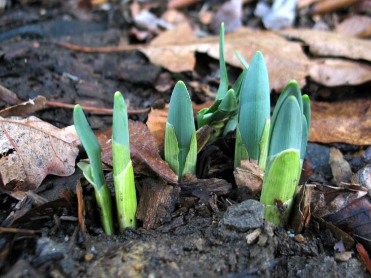 Daffodils (?)