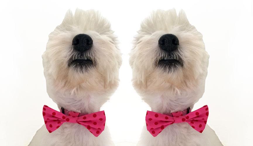 Hand made dog bow tie West highland terrier westie