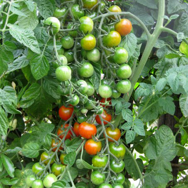 Vine tomatoes, cherry tomato, homegrown
