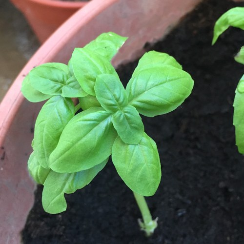 Basil, cutting, gardening, herbs, garden, grow your own, edible garden