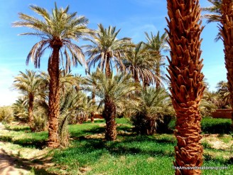 More date palms