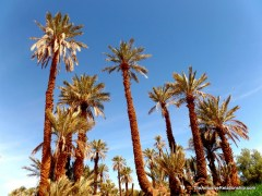 even more date palms