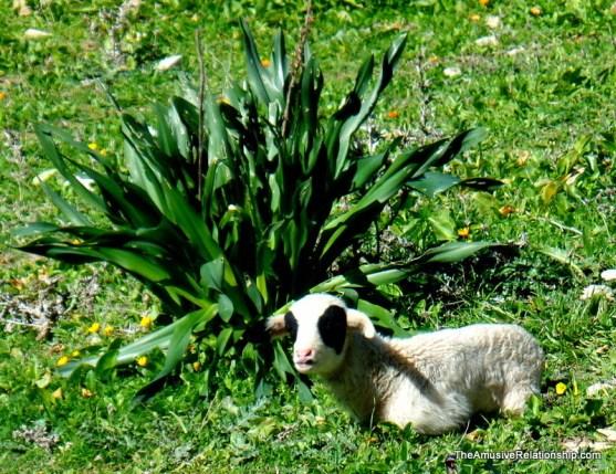 Resting lamb.