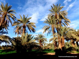 Last one of date palms, I promise