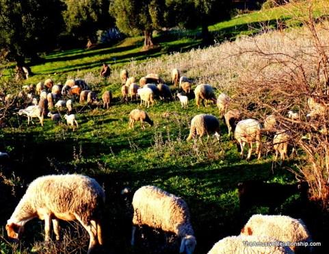 Grazing sheep.