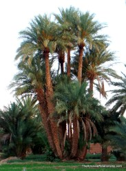 Date palms everywhere.