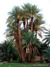 Date palms everywhere.