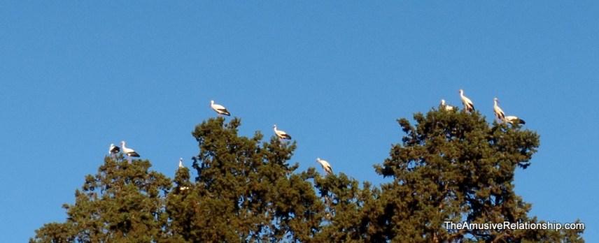 Storks in trees