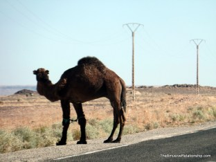 Roadside camels