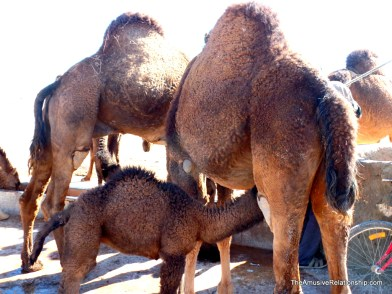 Mother camel with baby at the watering hole.