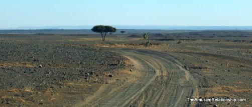 Solitary tree, acacia, we think
