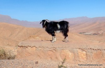 Goat on a wall