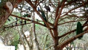 Peafowl in the trees in São Jorge Castle