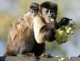 She-Devil, a 3 week-old Capucin monkey, rests on the shoulder of her mother Impie at the Olmense Zoo in Olmen, Belgium October 18, 2007. REUTERS/Yves Herman (BELGIUM)