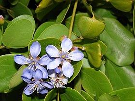 floarea de benzoin