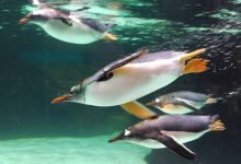 Photo of Why do penguins swim so fast?