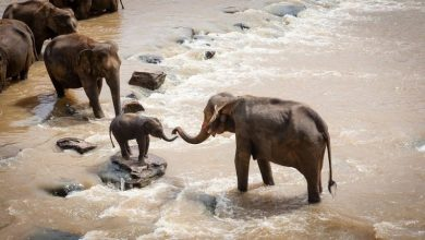 Photo of Africa: unknown reasons killed more than hundred elephants