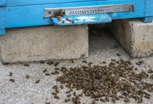 Photo of Bees are massively killed around the world