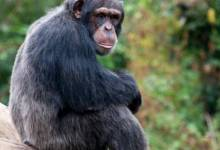 Why do chimpanzees throw stones at trees