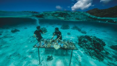 Photo of Coral transplant: how reefs are given new life