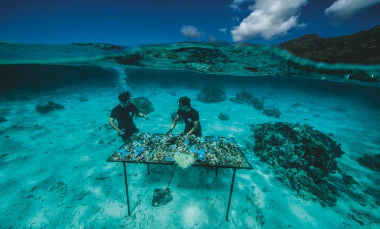 Coral transplant how reefs are given new life