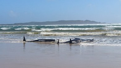 Photo of Hundreds of dolphins in southern Australia washed ashore