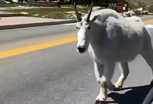 Netizens were struck by a giant goat caught in the mountains in the video