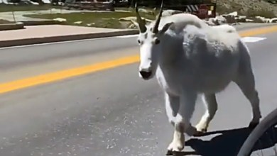 Photo of Netizens were struck by a giant goat caught in the mountains in the video