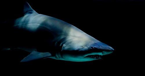 Sharks began to perceive people as prey