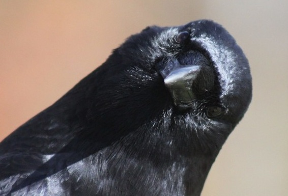The ravens found consciousness