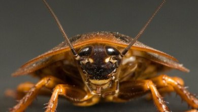 Cockroaches remember dinosaur poisons