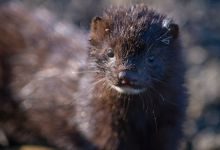 Dozens of mink infected with coronavirus have escaped from Danish farms