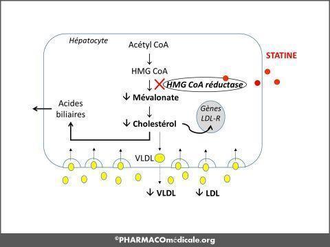 statine cycle hmg coa reductase