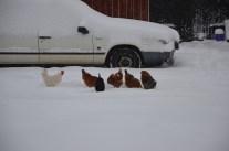 Och till slut fick hönorna ett varmbonat hus. Men de hade gärna stannat ute.