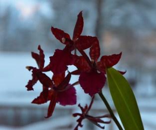 En orkidée som varit en bladrosett i flera, och så tänkte jag just kasta den :-)