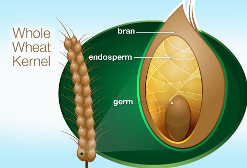 grain kernel diagram software wiring wheat | oregon agriculture in the classroom