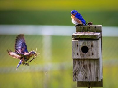 Eastern Bluebirds at nest box