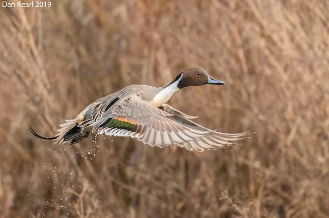 Northern Pintail, photo by Dan Kearl