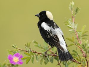 Bobolink, photo by Russ Smith