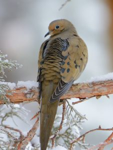 Mourning Dove, photo by Jim Moodie
