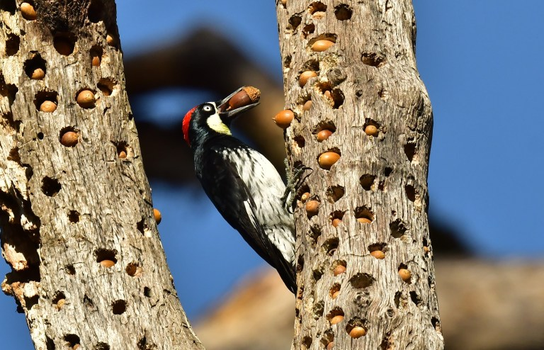Acorn Woodpecker, photo by Tony Rush
