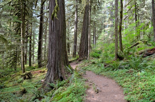 Salmon River Old-Growth Forest (photo by Marielle Cowdin)